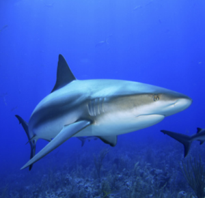 rekin-rafowy