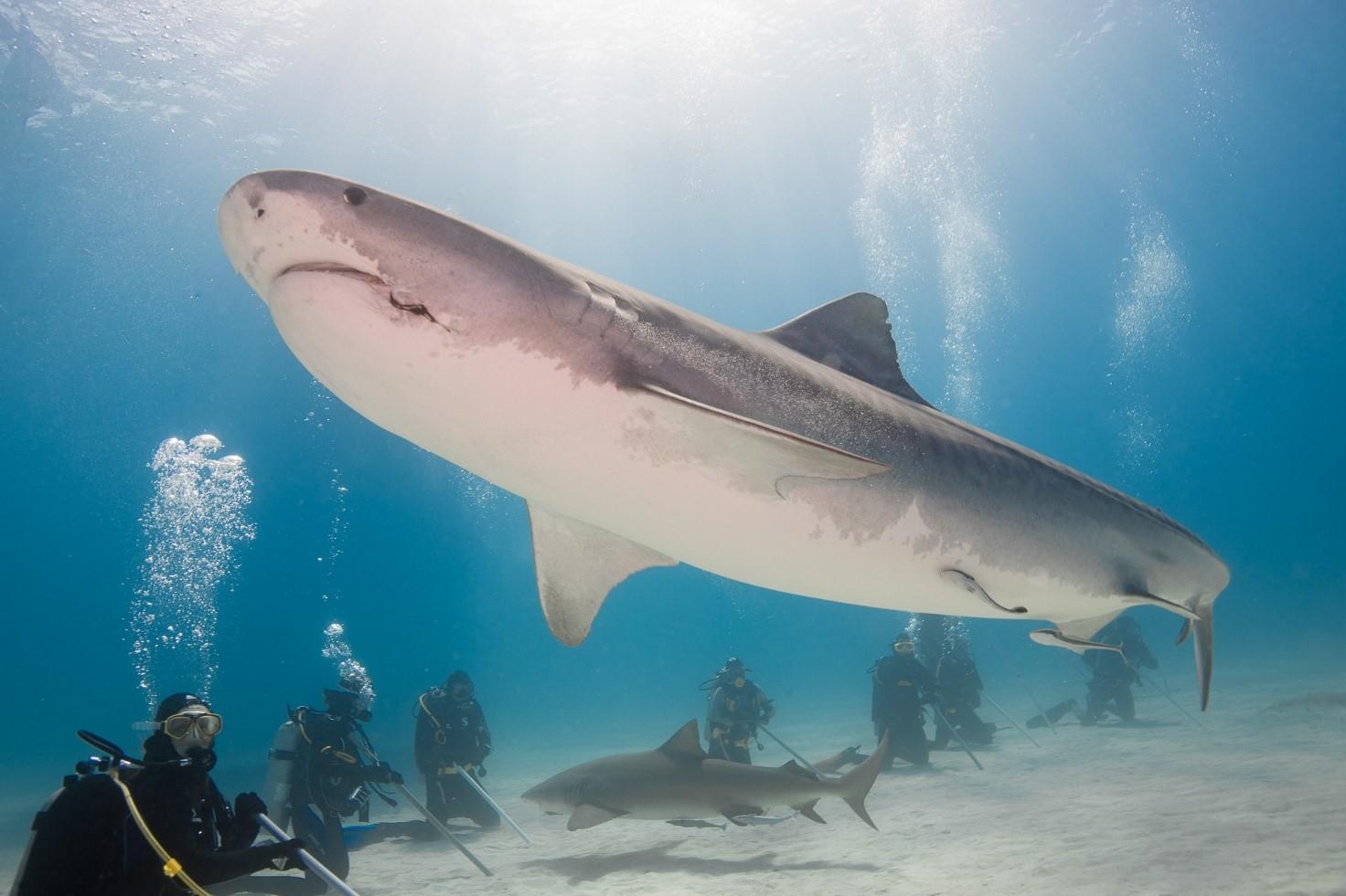 Rekin tygrysi w całej okazałości
