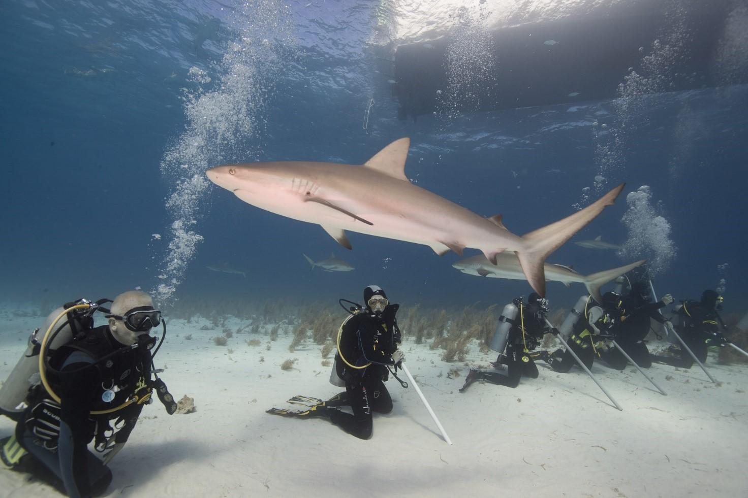 Rekiny karaibski pływają przy nurkach
