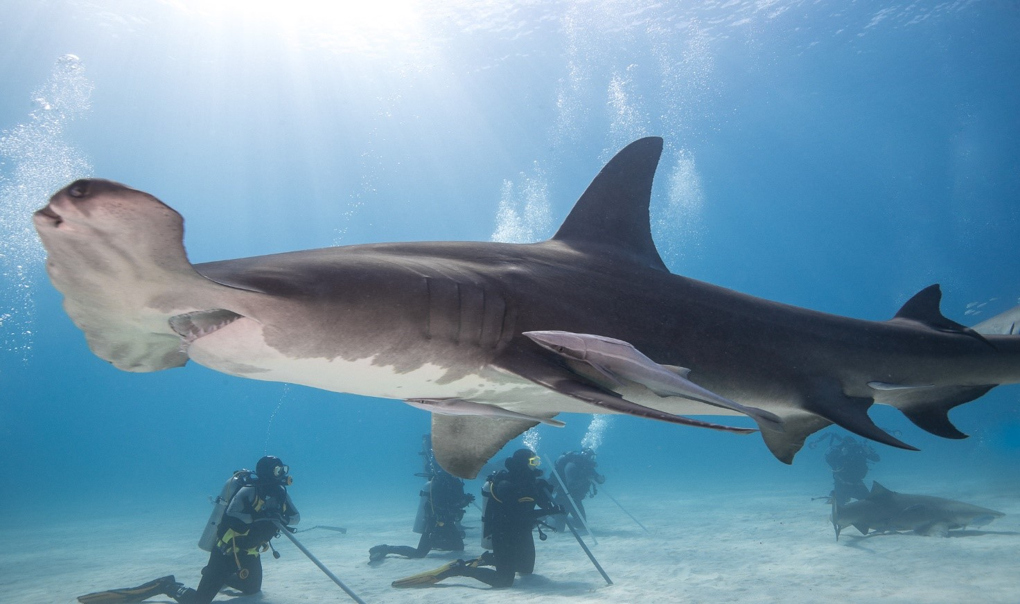 Rekin młot patroluje teren