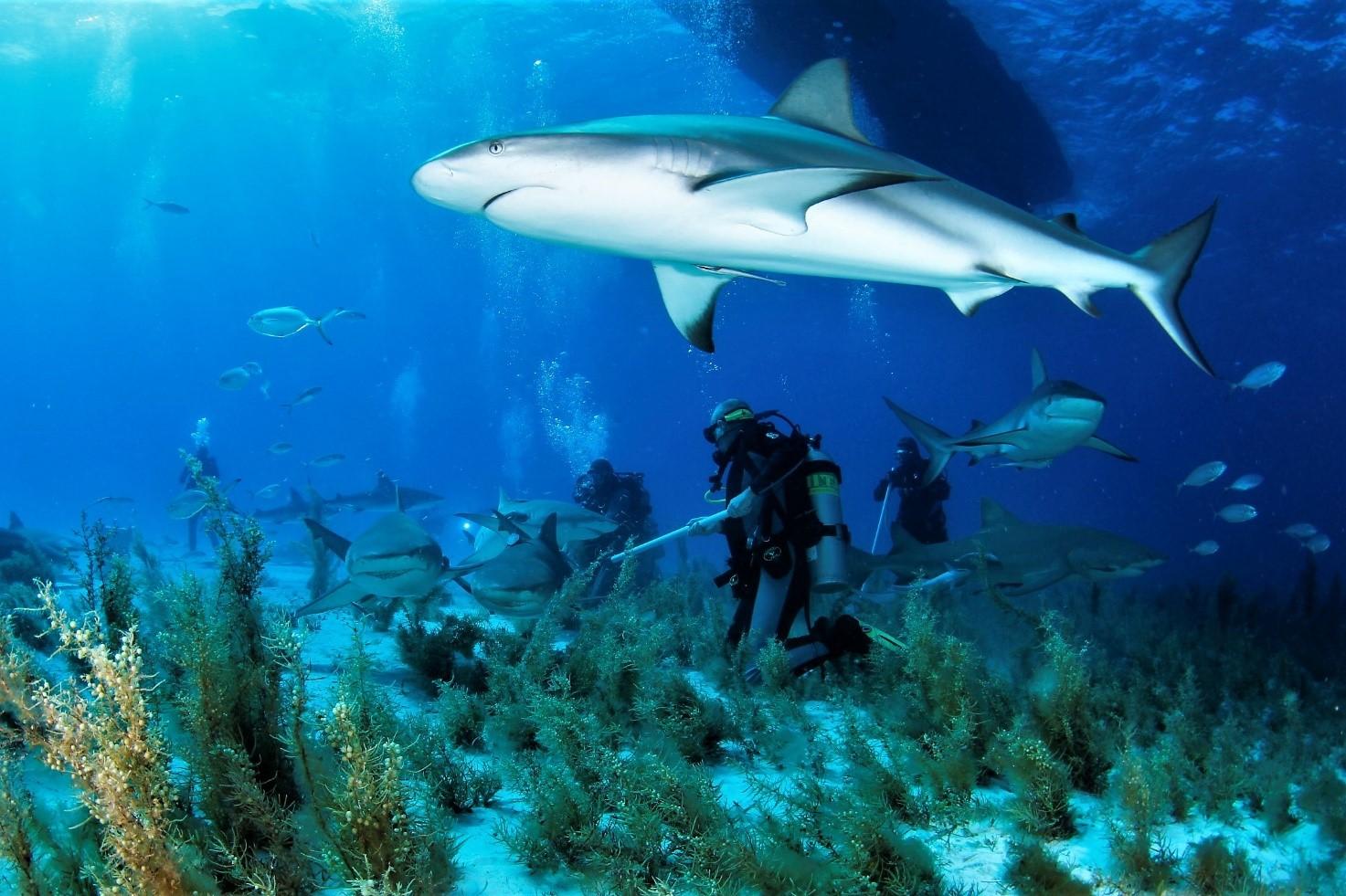 Rekiny żółte osaczają nurka