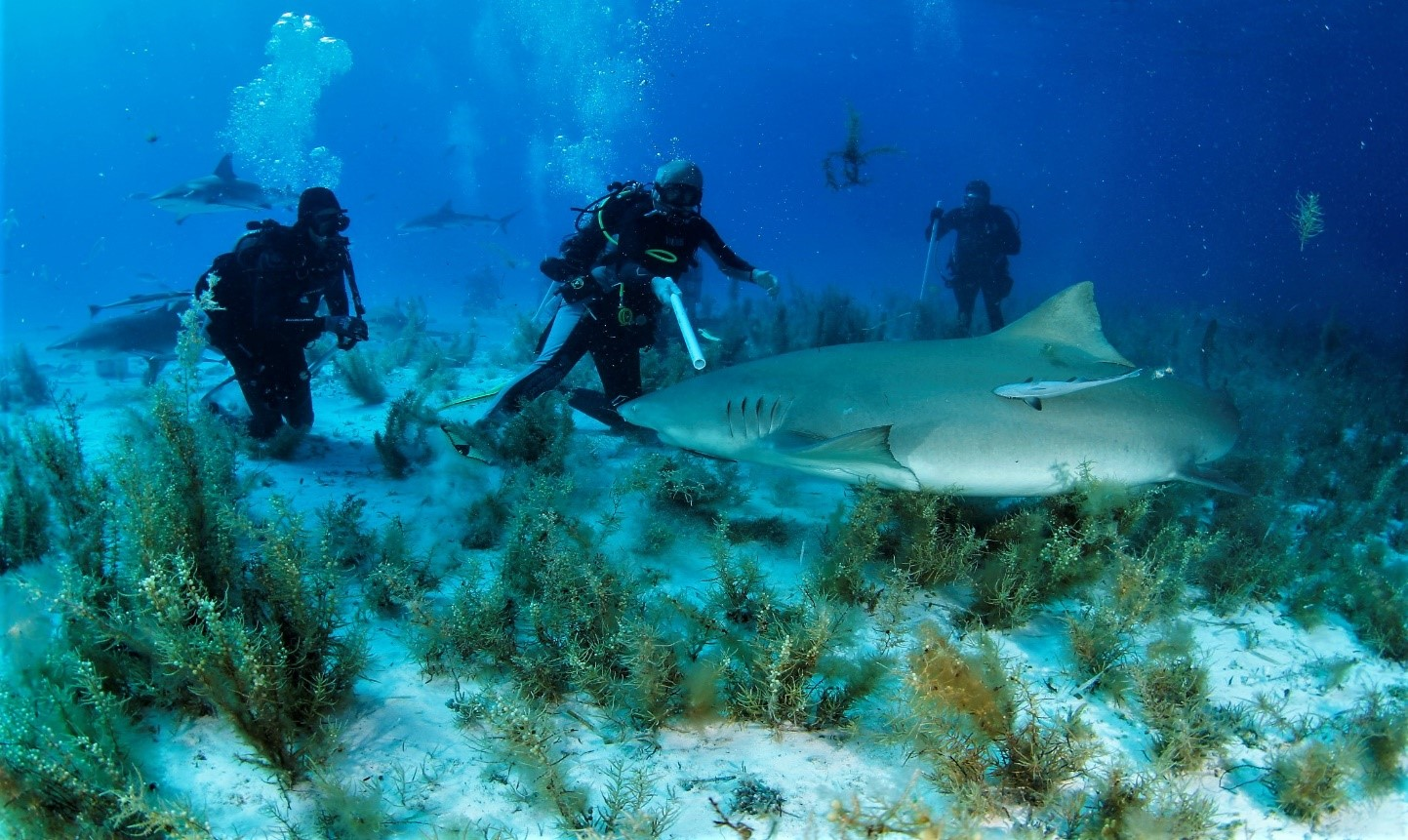 żółte rekiny atakują nurka
