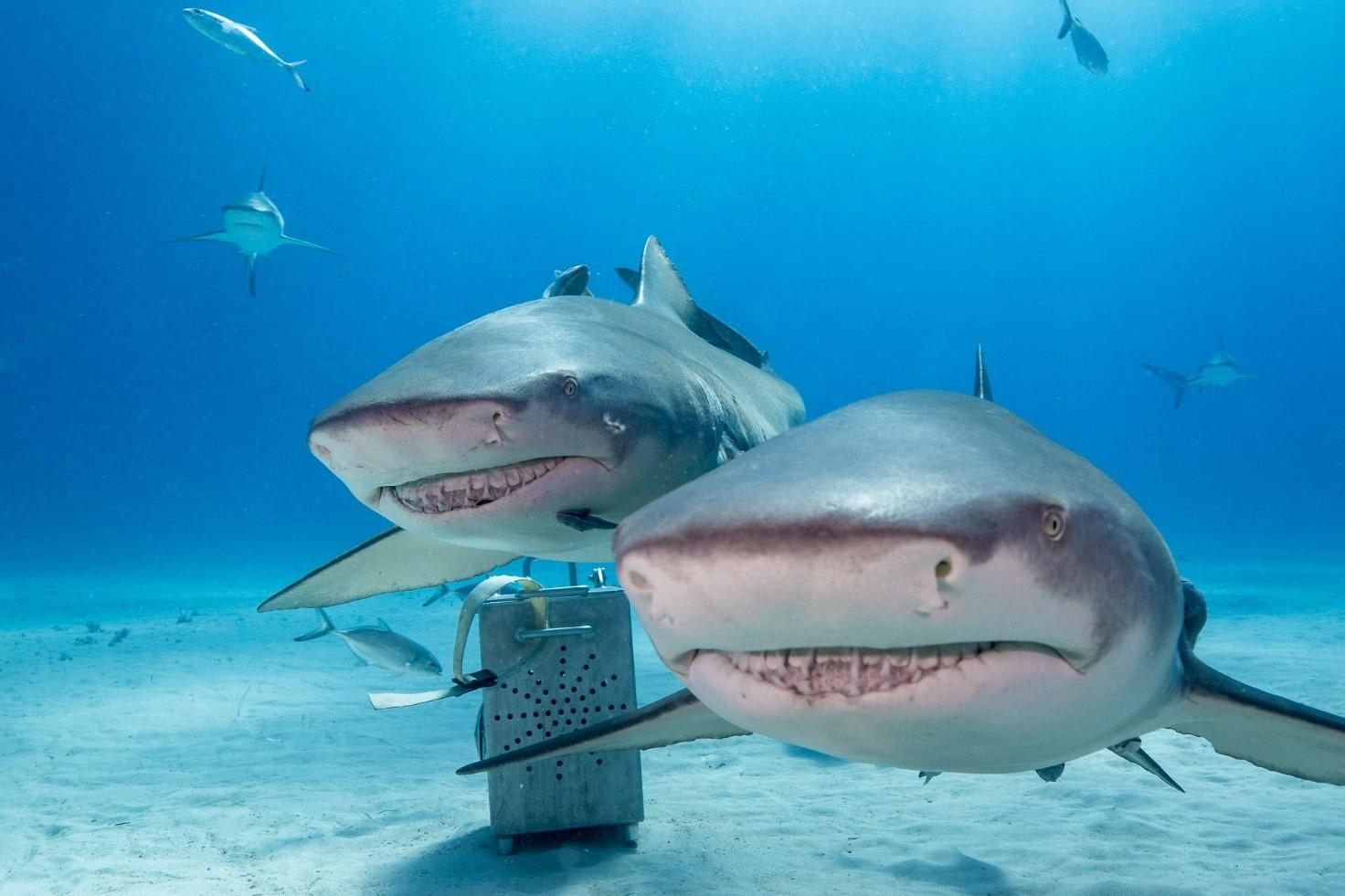 Dwa żółte rekiny
